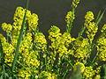 20150509Barbarea vulgaris1.jpg