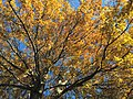 2017-11-23 14 03 25 View up into the canopy of a Pin Oak in late autumn along Tranquility Court in the Franklin Farm section of Oak Hill, Fairfax County, Virginia.jpg