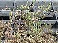 20170624Arenaria serpyllifolia1.jpg