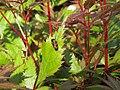 2018-05-13 (159) Cercopis vulnerata (froghopper) on plant at Bichlhäusl in Frankenfels, Austria.jpg