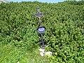 2018-08-29 (164) Wayside crosses of August Schröckhenfux with Pinus mugo subsp. mugo at Rax, Austria.jpg