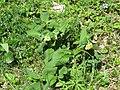 2019-04-25 (117) Symphytum tuberosum (tuberous comfrey) at Haltgraben, Frankenfels, Austria.jpg