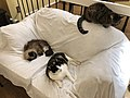 2019-11-05 20 53 28 Three cats lying on a couch in the Franklin Farm section of Oak Hill, Fairfax County, Virginia.jpg