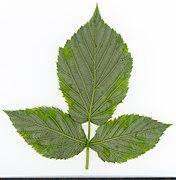 2020 year. Herbarium. Rubus idaeus. img-045.jpg
