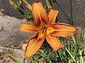 2021-06-08 14 30 40 Orange Day Lily along Old Dairy Road in the Franklin Farm section of Oak Hill, Fairfax County, Virginia.jpg