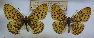 Boloria iphigenia - Image: 237 Clossiana iphigenia