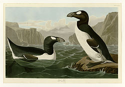341 Great Auk.jpg