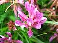 3422 - Fiescheralp - Trifolium alpinum.JPG