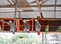 3 African grey parrots 01.jpg