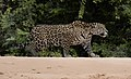 7374 new Pantanal jaguar JF.jpg