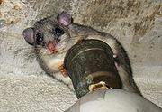 Edible dormouse in a cellar