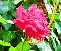 A@a Kyproulas garden askas33 Cyprus - panoramio.jpg