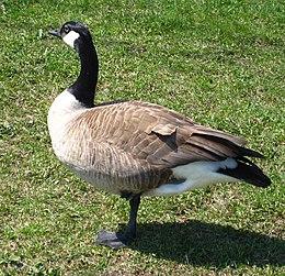 A Canada Goose.jpeg