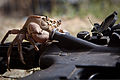 A freshwater Afghan crab climbs on top of an M4 carbine during the construction of a dam near Combat Operating Post Mizan in Zabul, Afghanistan, July 1, 2011 110701-A-UJ825-037.jpg