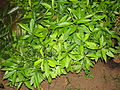 A image of jamun saplings.JPG