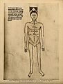 A male nude with the parts of the abdomen and thorax labelle Wellcome V0007729EL.jpg