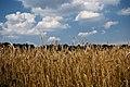 A wheat field - panoramio.jpg