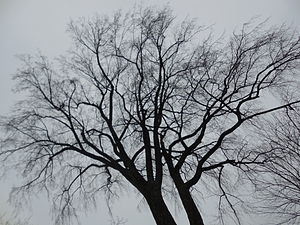 Season - A deciduous tree in winter