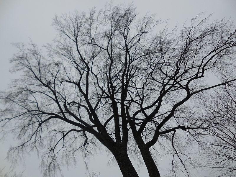A winter tree.JPG