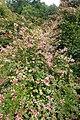Abelia × grandiflora 'Mardi Gras' kz1.jpg