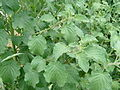 Abutilon indicum (Thuththi).jpg