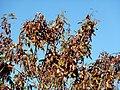 Acacia ataxacantha, peule, Little Eden, b.jpg