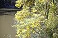 Acacia dealbata 14.jpg