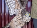 Accipiter gentilis f juv captive.jpg