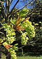 Acer macrophyllum kz03.jpg