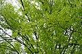 Acer pentaphyllum kz01.jpg