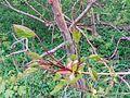 Acer platanoides (13966544324).jpg