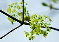 Acer platanoides - flowers.jpg