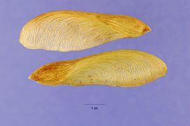 Acer saccharinum seeds.jpg
