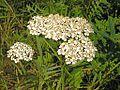 Achillea millefolium20110702 067.jpg
