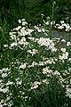 Achillea ptarmica prg 1.jpg