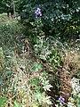 Aconitum variegatum subsp. variegatum sl44.jpg