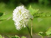 Actaea erythrocarpa0.jpg