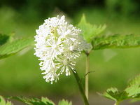 Actaea erythrocarpa0