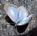 Acytolepis puspa - Common Hedge Blue 01.JPG