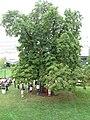Aesculus Glabra, Ohio Buckeye, American Buckeye, or Fetid Buckeye - panoramio.jpg
