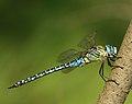 Aeshna-affinis-male-side-www.jpg