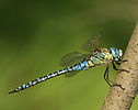 Aeshna-affinis-male-side-www.jpg