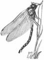 Aeshna cyanea02.png
