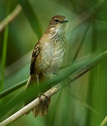 African Bush-Warbler - South Africa S4E7737 (16708155164), crop.jpg