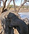 African Elephant (Loxodonta africana) female drinking ... (32321325914).jpg