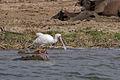 African spoonbill - Queen Elizabeth National Park, Uganda.jpg