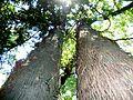 Afrocarpus falcatus, habitus, b, Manie van der Schijff BT.jpg