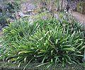 Agapanthus praecox liliaceae (agapanthe).JPG
