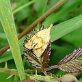 Agapeta hamana Tortricidae - Flickr - gailhampshire.jpg
