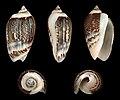 Agaronia gibbosa 01.jpg